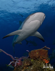 Reef Shark glides over the reef while Im perched just bel... by Steven Anderson 